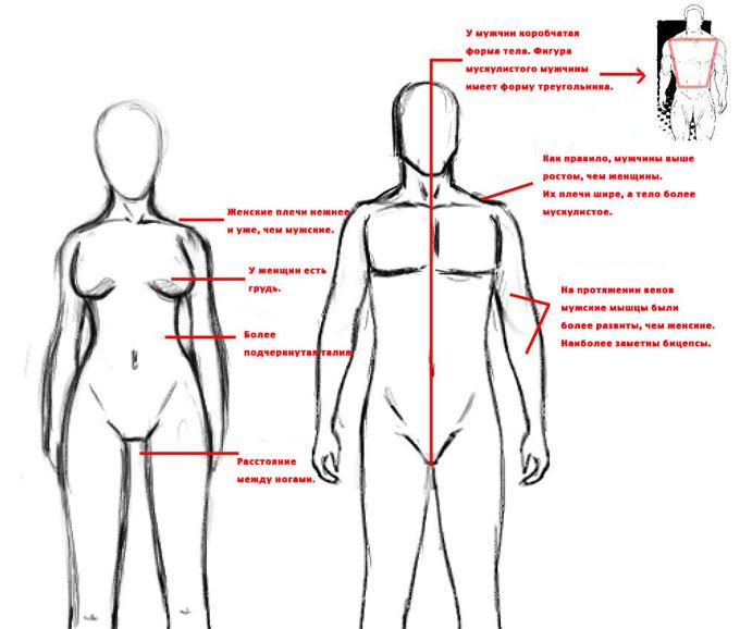 Различия мужской и женской фигуры