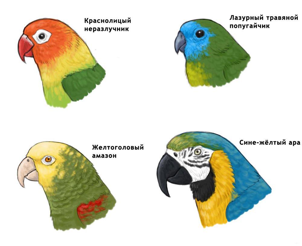 Различные виды попугаев